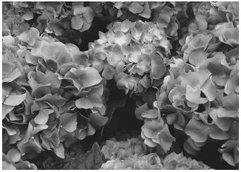 The color of the blooms on the hydrangea plant, which can be pink, blue, or purple, are determined by the amount of acidity in the soil.