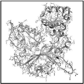 Figure 1. The 3-dimensional molecular structure of the globular protein polymerase β. The ribbon represents the backbone of the amino acid chain with the various amino acids depicted by shading. The side chains of the amino acids fill in the structure.
