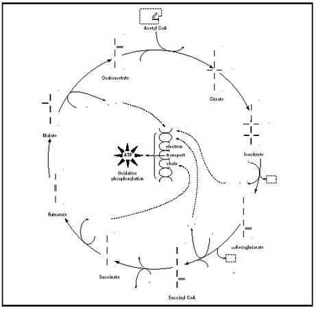 Figure 1. Krebs Cycle.